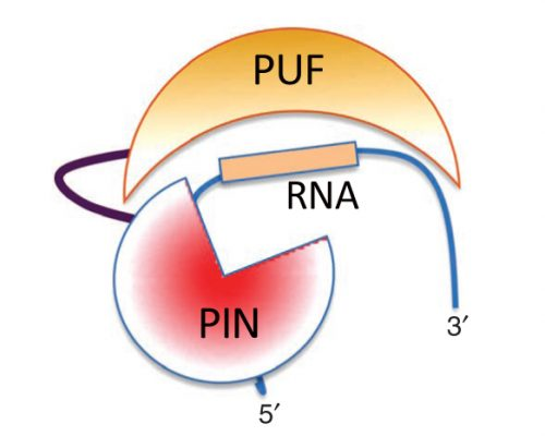 Enzerna's ASRE diagram for RNA interference.